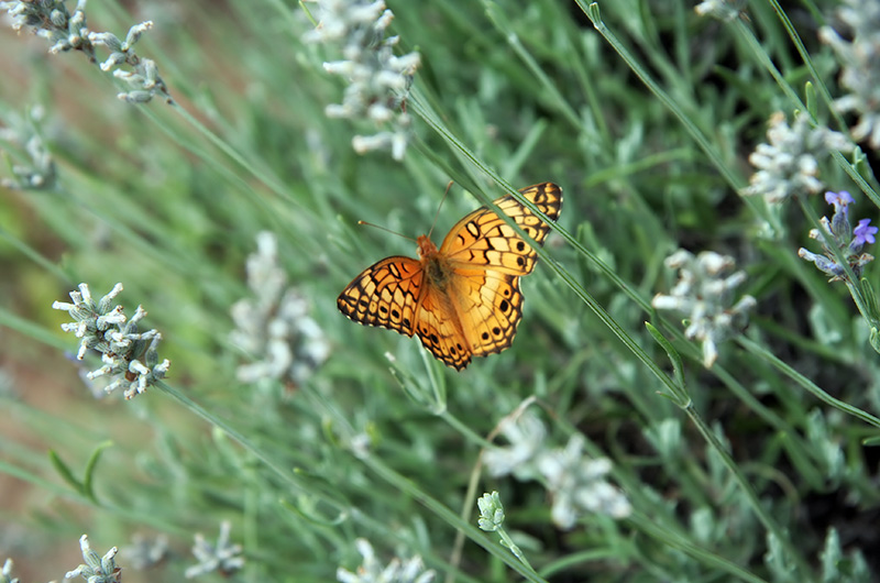 A orange, yellow, and black butterfly amongst the lavender at the Lavender Spring Ranch in Arabela, New Mexico