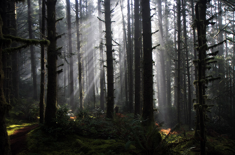 A light fog helps create light beams from the sun as the sun shines into the forest at Carl Washburne State Park in Oregon