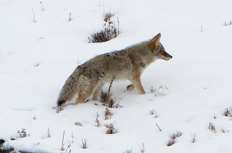 Coyote in the snow at Lamar Valley in Yellowstone National Park January 2010