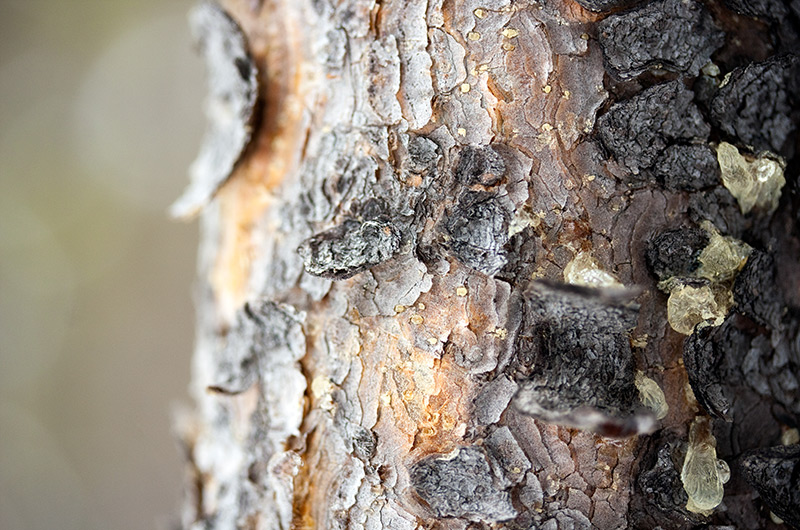 Closeup photo of the texture of bark on a tree in Yellowstone National Park January 2010
