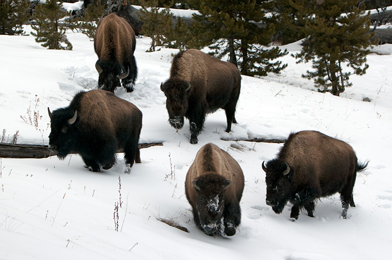 Five bison in the snow near the Observation Trail on the Upper Geyser Basin in Yellowstone National Park January 2010