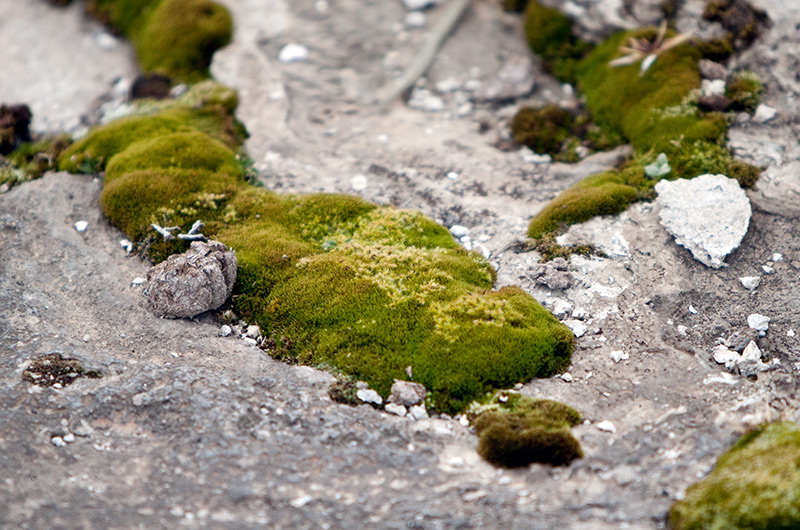 Moss growing next to a small geyser on the Upper Geyser Basin in Yellowstone National Park January 2010
