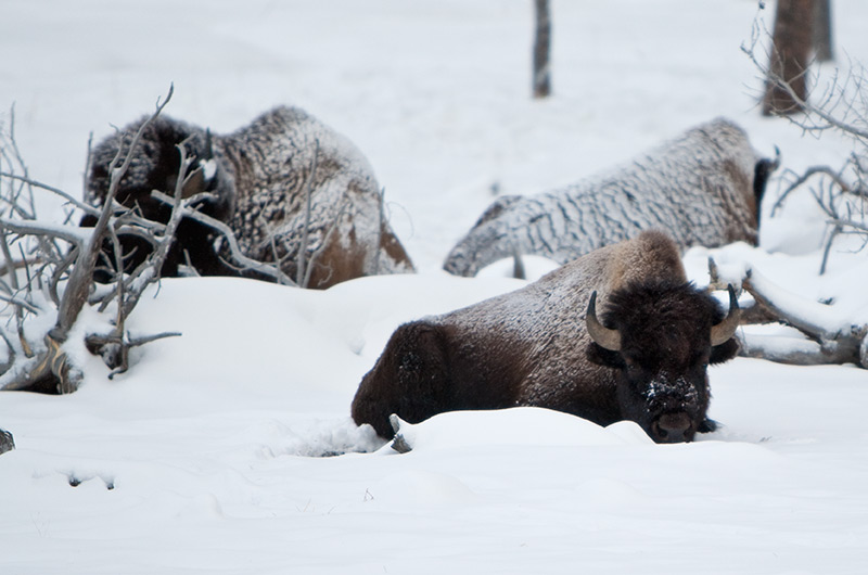 Bison laying where they bedded down for the night on the Upper Geyser Basin in Yellowstone National Park January 2010