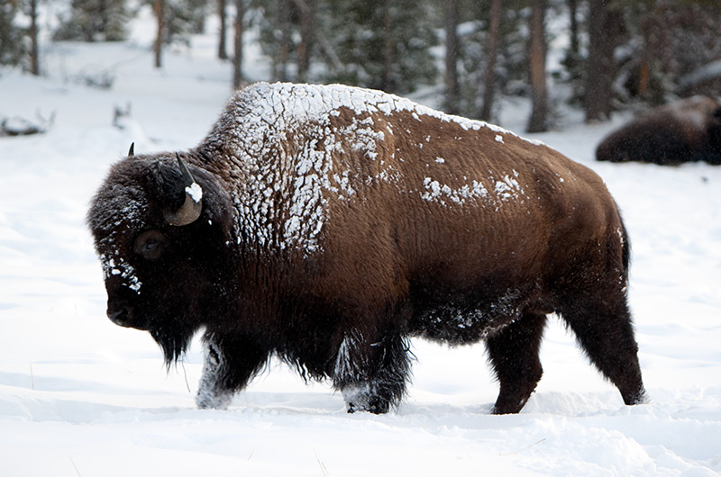 A snowy bison looking for a feeding spot on the Upper Geyser Basin in Yellowstone National Park January 2010