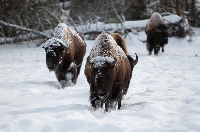 Snow dusted bison walking over the Upper Geyser Basin in Yellowstone National Park January 2010