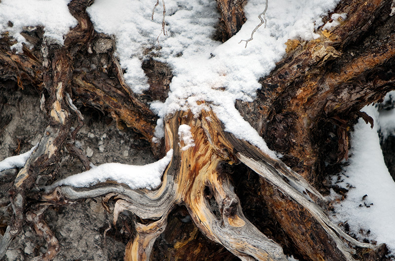 Bare roots of a tree partially covered in snow on the Upper Geyser Basin in Yellowstone National Park January 2010