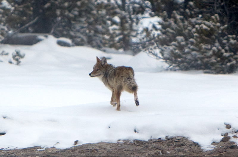 A coyote on the Upper Geyser Basin in Yellowstone National Park January 2010