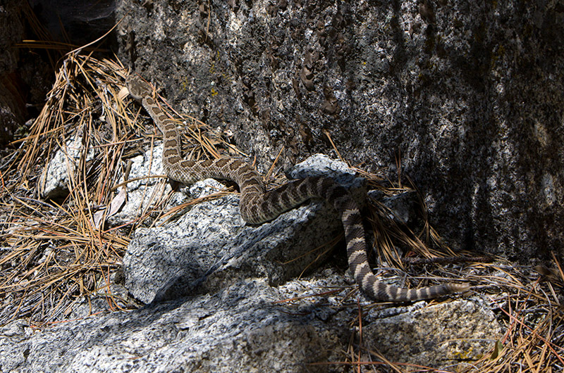 A rattle snake on the Mist Falls Trail in Kings Canyon National Park, California