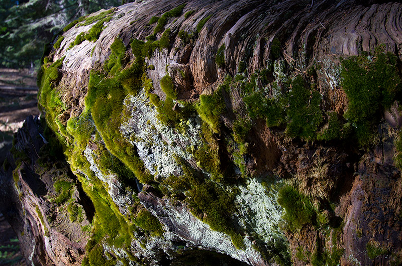 Mosses growing on a dead burned out trunk of a Sequoia tree in Kings Canyon National Park, California