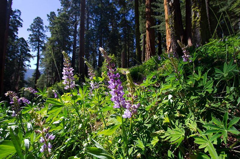 Trail side in Redwood Canyon at Kings Canyon National Park in California