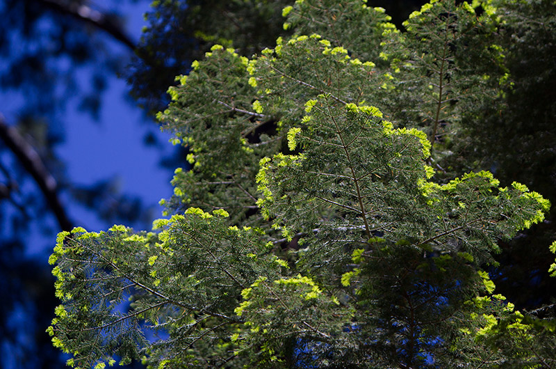 Fresh green growth of a tree in Kings Canyon National Park in California