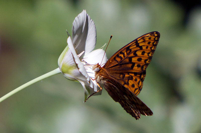 A butterfly sucking up nectar in a flower at Kings Canyon National Park, California