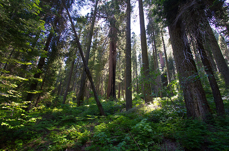 In the forest of Redwood Canyon at Kings Canyon National Park, California