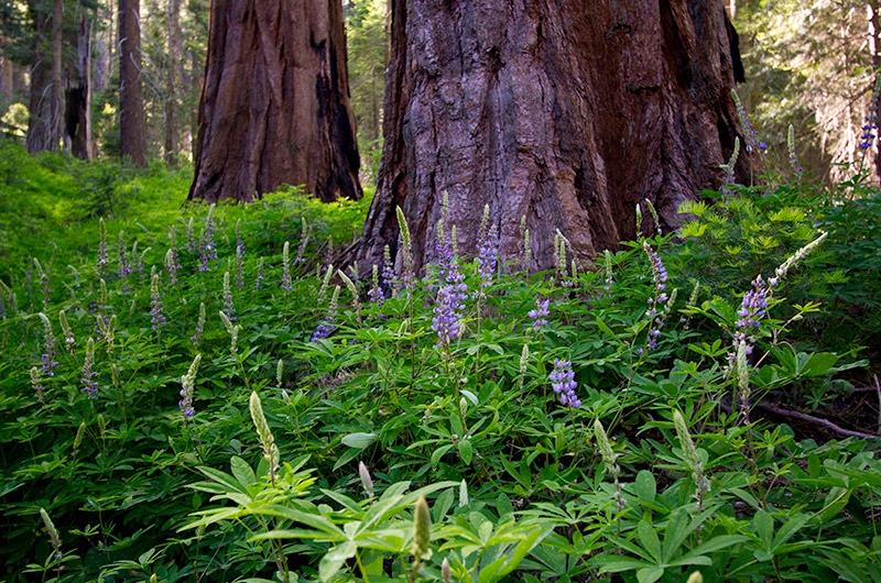 Lush green foliage and purple flowers at the foot of giant Sequoia trees in Kings Canyon National Park, California