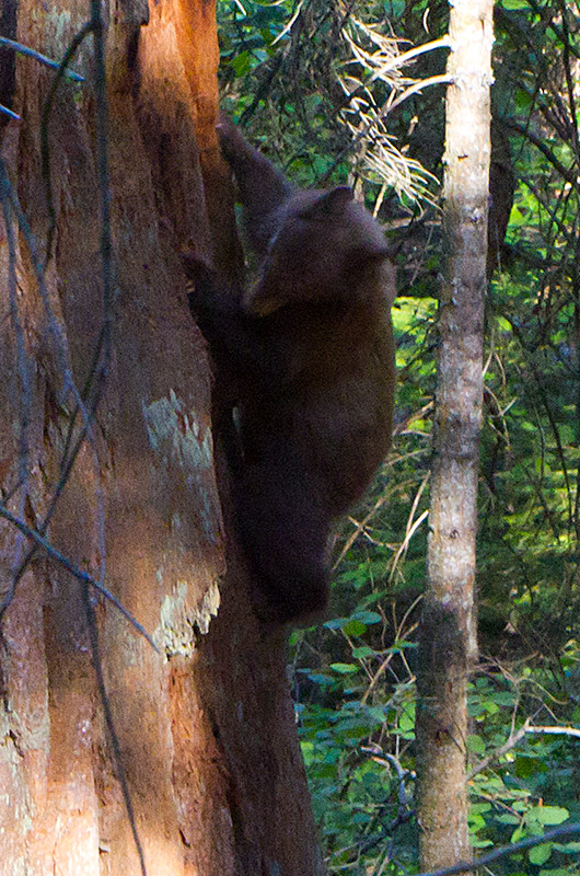 A bear crawling up a giant Sequoia tree looking for food in Kings Canyon National Park, California