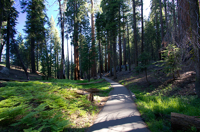 On the loop trail near the General Sherman tree in Sequoia National Park, California
