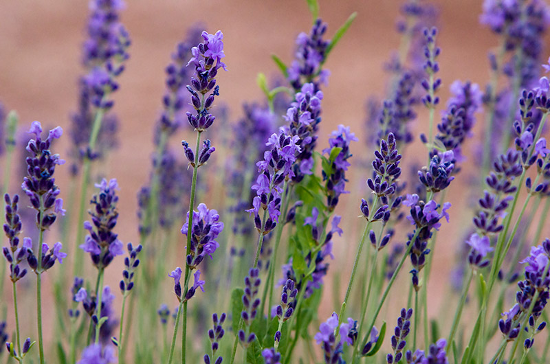 Lavender from Red Rock Ranch and Farm near Concho, Arizona