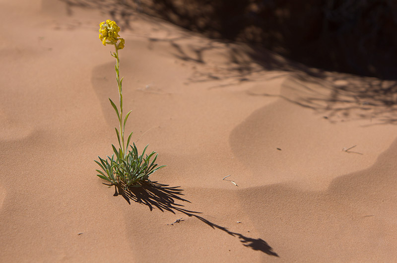 A lone wildflower in the red sands of Horseshoe Canyon in Canyonlands National Park in Utah
