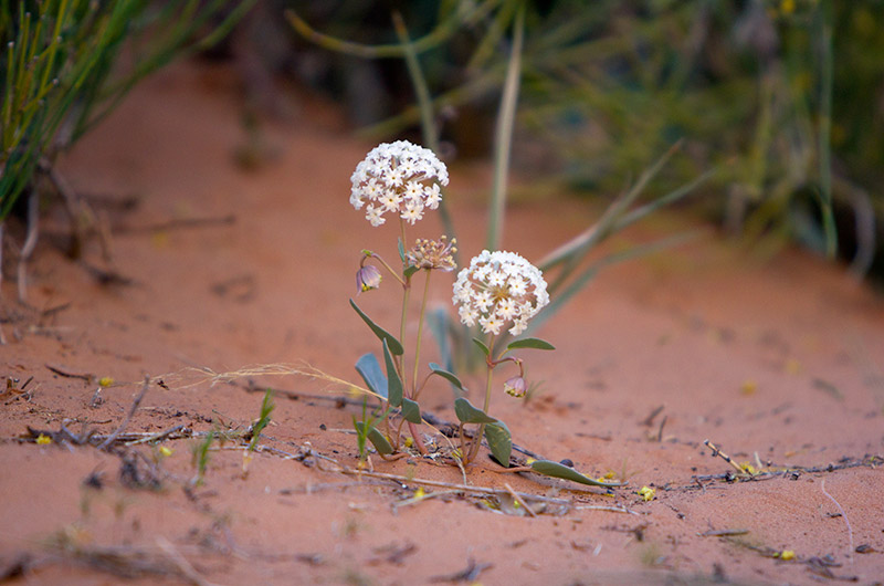 Flowers blooming in Arches National Park in Utah