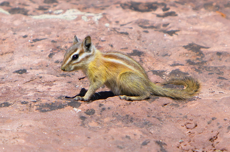 A yellow Colorado Chipmunk posing at Dead Horse Point State Park in Utah