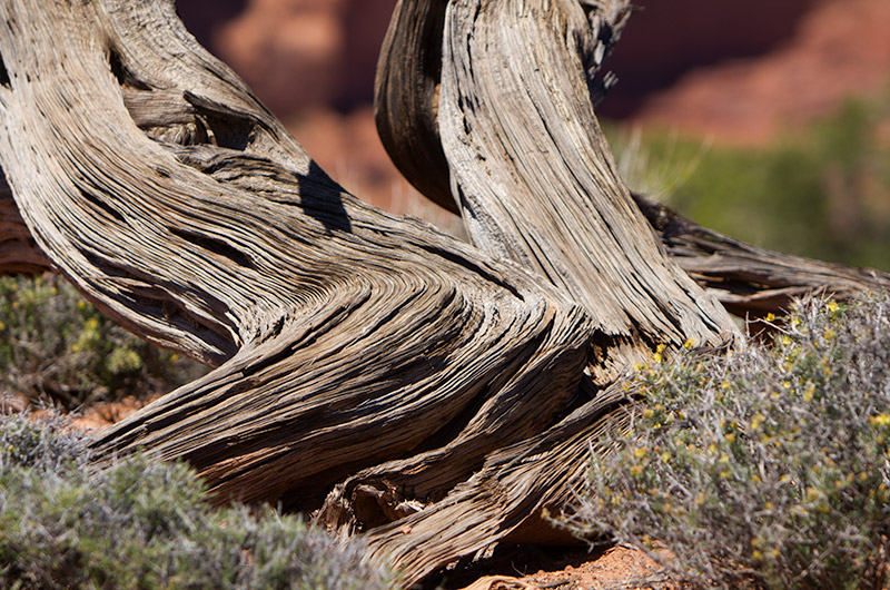 Twisted bark of a tree at Canyonlands National Park Islands in the Sky sector in Utah