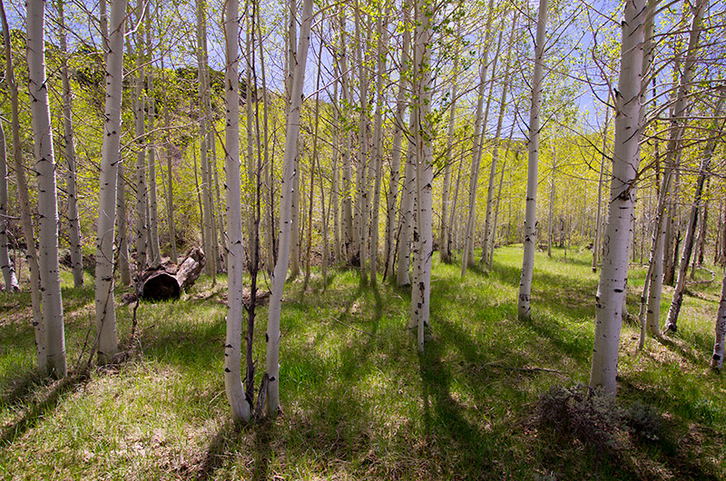 Stand of aspen trees near Monticello, Utah in the Manti-La Sal National Forest