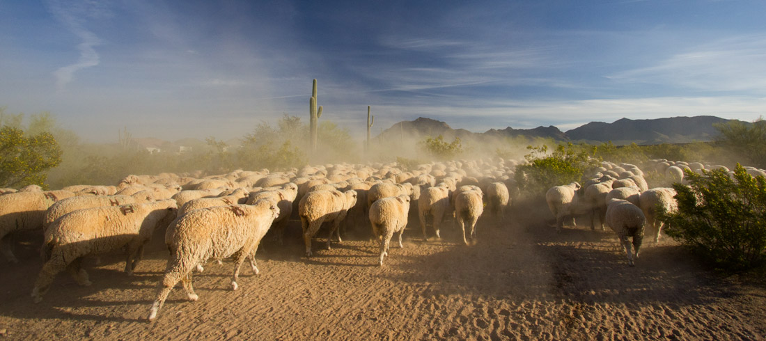 Out in the far east valley of Mesa, Arizona following a sheep drive as a heard of 2000 sheep are taken north for the summer