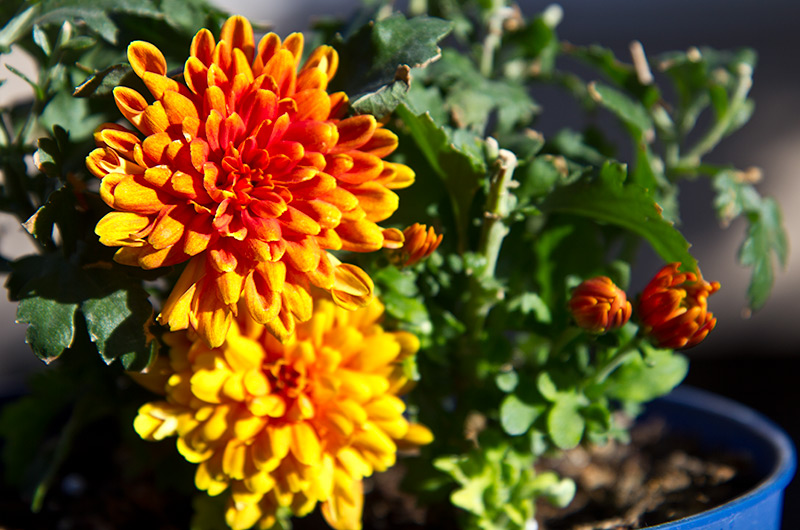 Flowers blooming on the Mums plant we were given on our Colorado River trip through the Grand Canyon back in November
