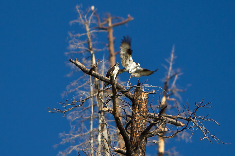 Two osprey starting to build a tree top nest next to Vallecito Reservoir in Bayfield, Colorado