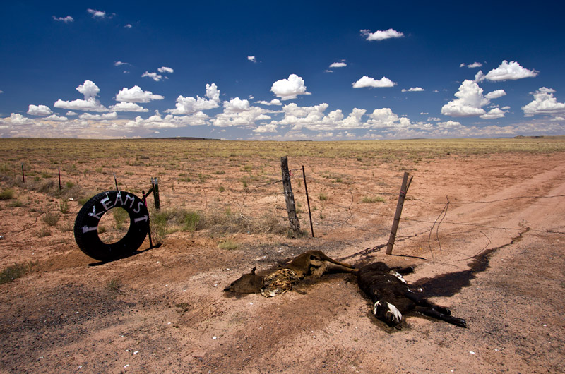 Two dead calves roadside on the Navajo Reservation