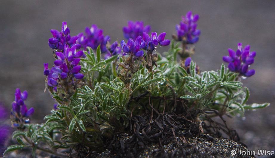 Purple flowers near the confluence of the Tatshenshini and Alsek Rivers in British Columbia, Canada