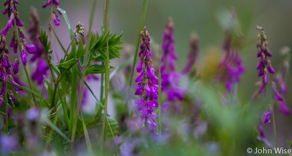 Wildflowers off the Alsek River in Alaska