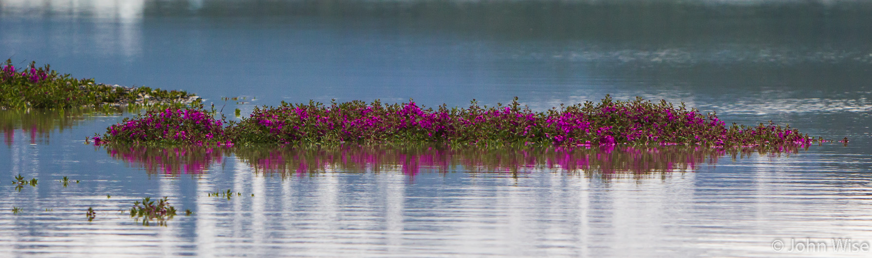 Wildflowers growing right out of the water on ground that is just inches higher than the earth around it that the lake now covers. On Alsek Lake in Alaska