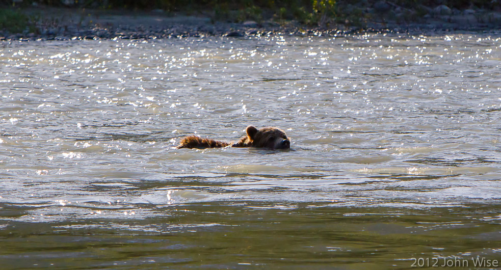 A grizzly bear swimming across the Alsek River in Kluane National Park Yukon, Canada