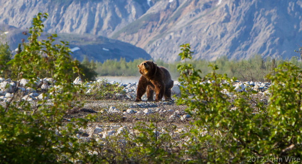 Behold the mighty grizzly bear in Kluane National Park Yukon, Canada