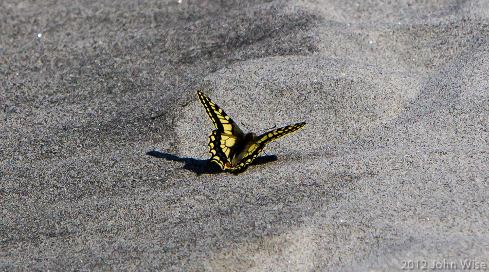 A swallowtail butterfly on shore near the Alsek River in Kluane National Park Yukon, Canada