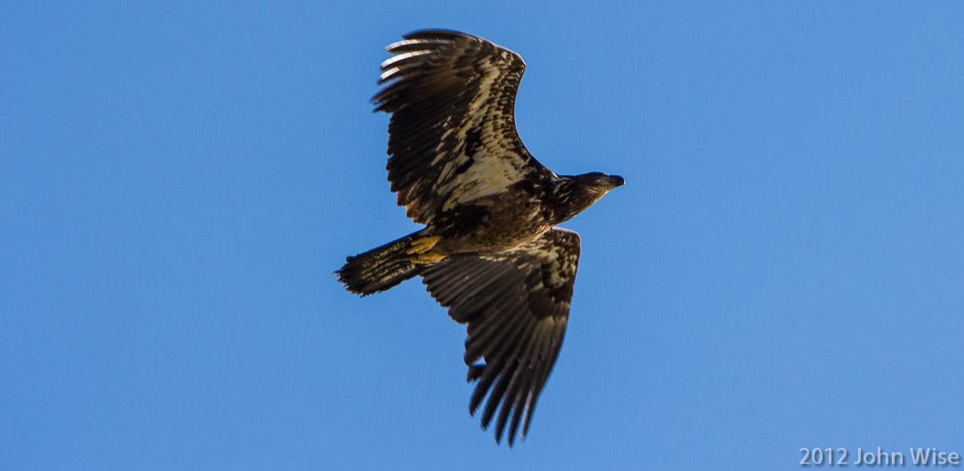 A juvenile bald eagle in Tatshenshini-Alsek Provincial Park British Columbia, Canada