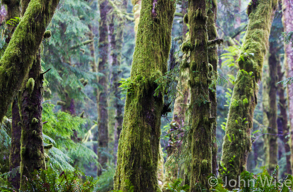 Moss covered trees in Ecola State Park in Oregon