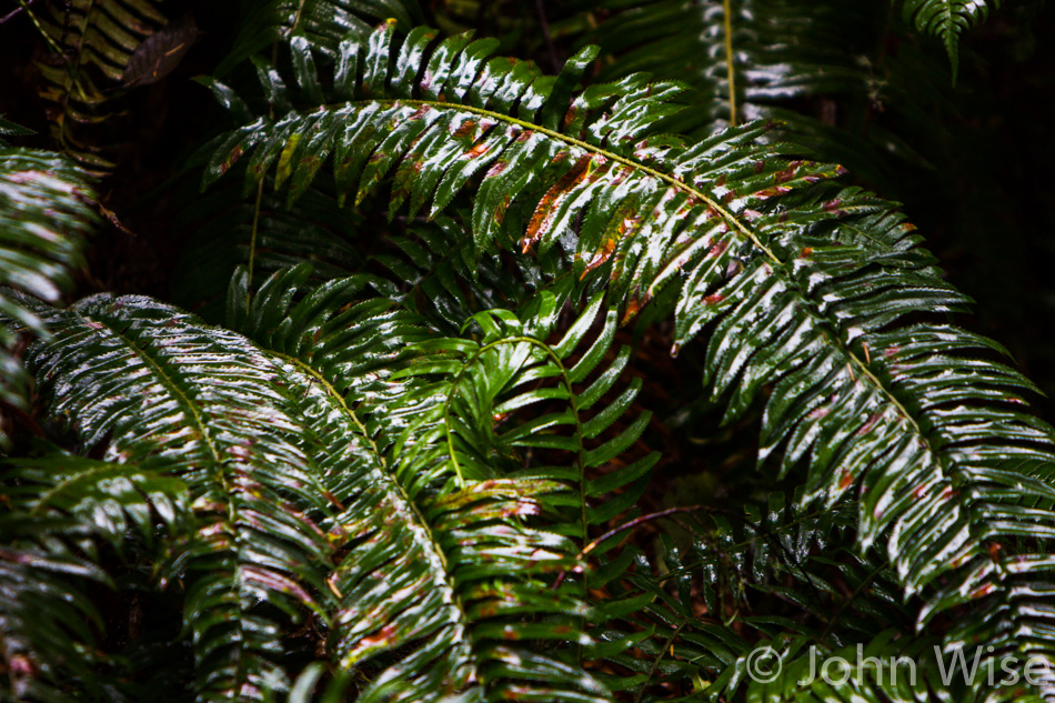 Ferns at Ecola State Park in Oregon