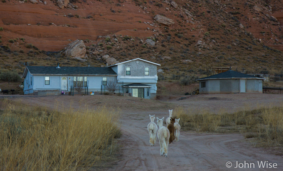 Alpaca's wandering the Navajo Reservation like sheep