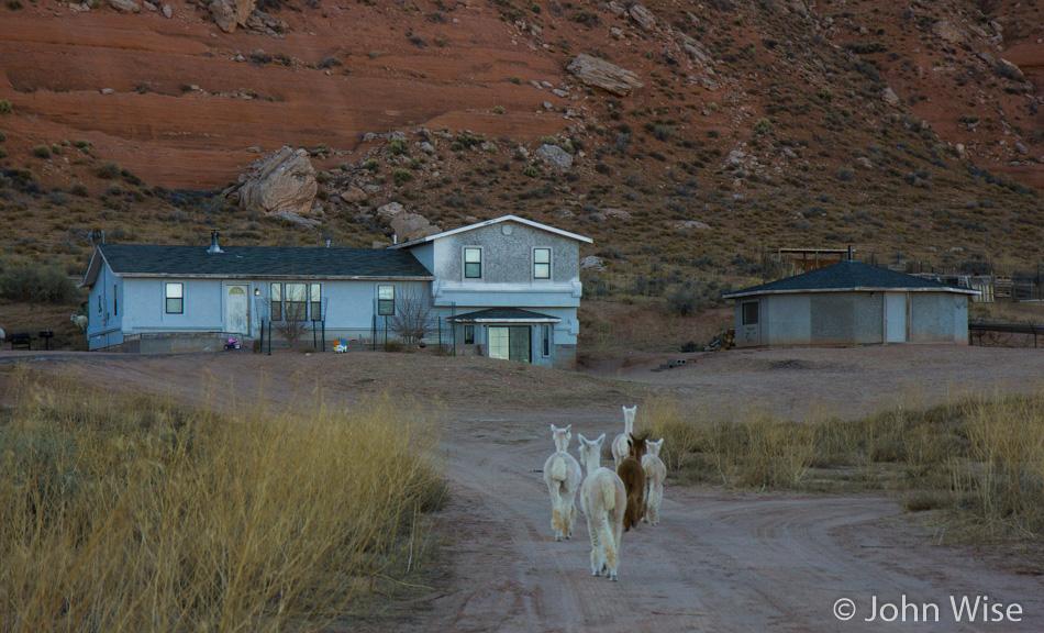 Alpaca's wandering the Navajo Reservation like sheep