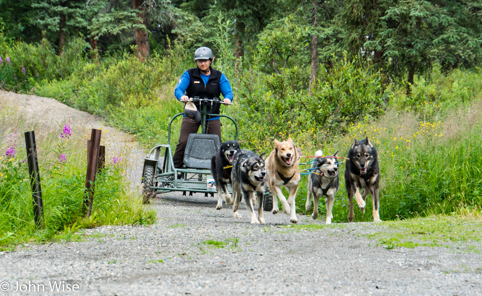 Alaskan Huskies in Danali National Park during a demonstration of sledding, summer style.