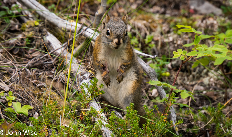 Squirrel in the wilds of Alaska