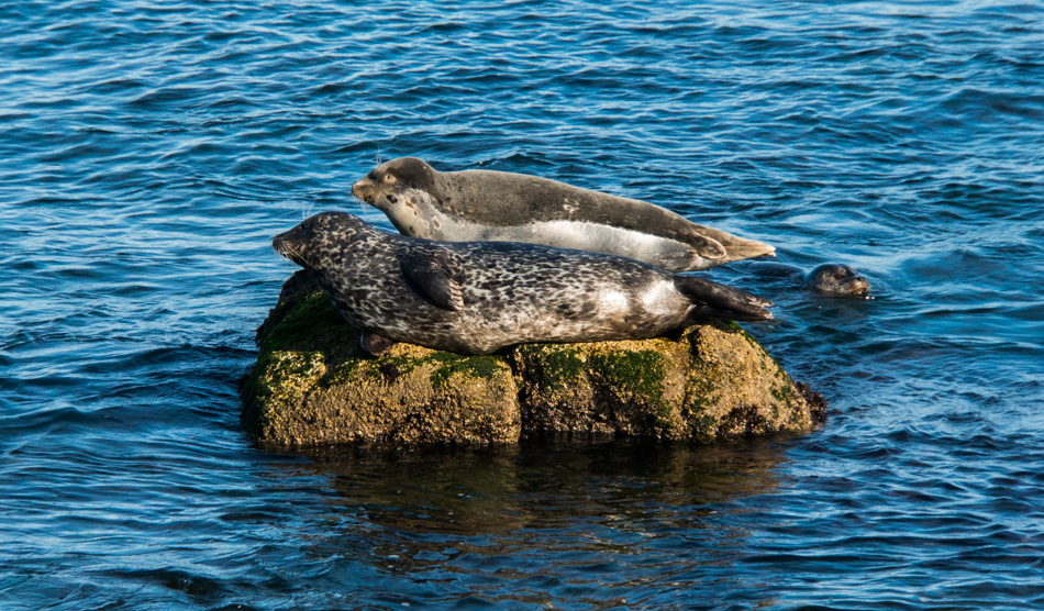Two harbor seals in Monterey Bay, California