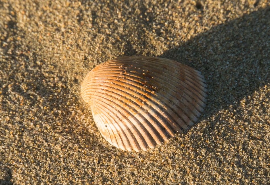 A seashell at Garrapata Beach