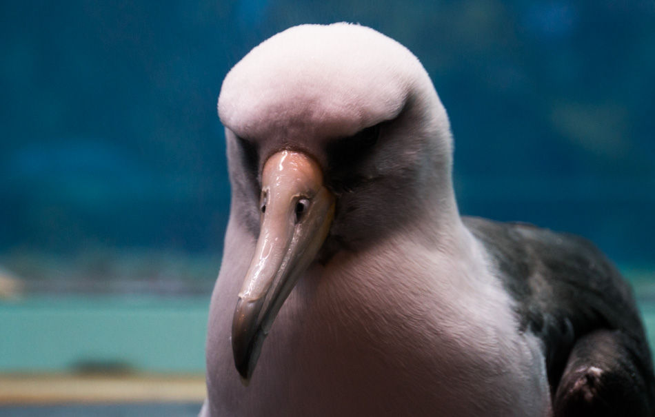 An Albatross at the Monterey Bay Aquarium